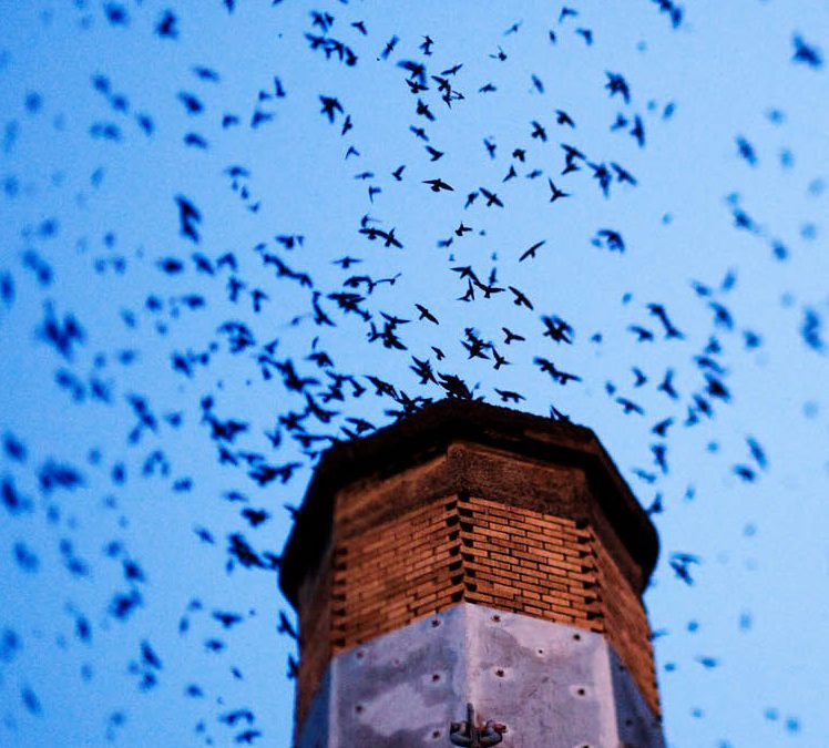 Chimney Swifts…Oh My!