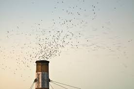 The Chimney Swifts Have Returned!